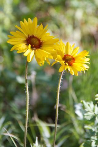 Two Blanketflowers