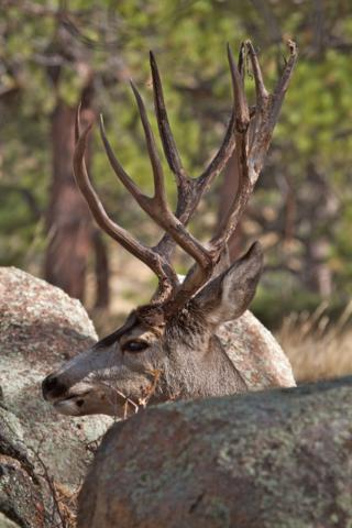 Boulders Surround a Buck in Rocky Mountain National Park