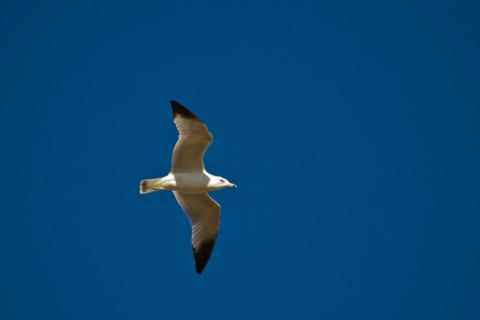 A Gull Flies