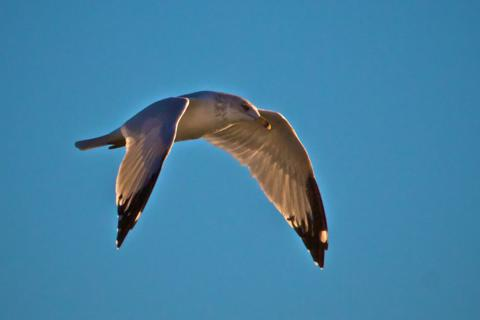 A Gull Flies Over Webster Pond
