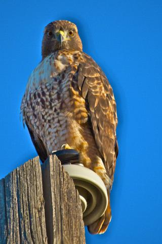 A Red-Tailed Hawk and I Study Each Other