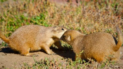 Two Prairie Dogs Exchange a Greeting