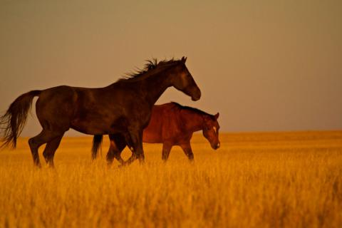 Two Horses in the Last Light of Day