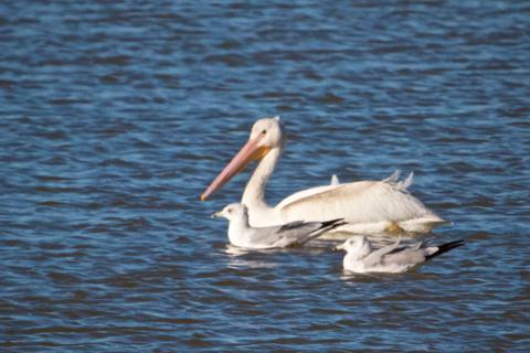 A White Pelican and Friends