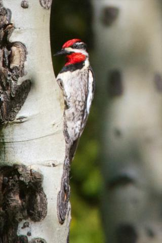 A Red-Naped Sapsucker on an Aspen