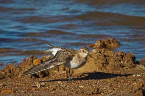 A Semipalmated Sandpiper Spreads its Wings
