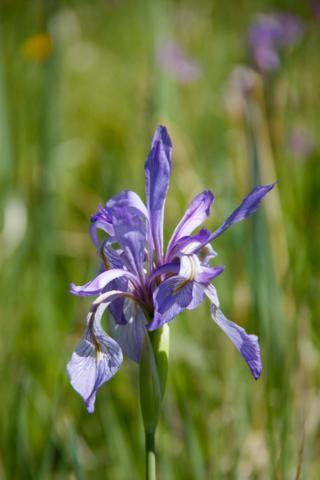 A Profusion of Wild Irises Grow in Frazer Meadow