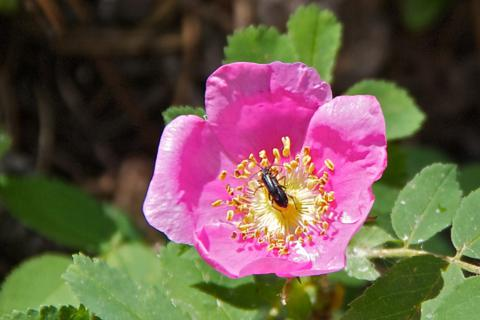 A Wild Rose and Bug