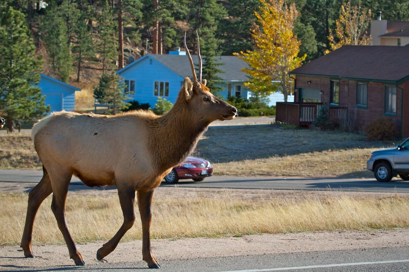 A Young Bull Crosses Colorado State Highway 7