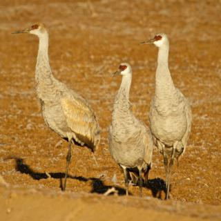 Three Sandhill Cranes in the Field