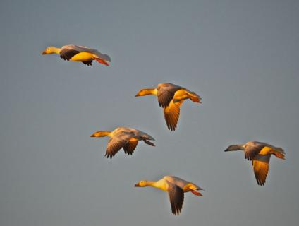 Five Snow Geese Fly into the Sunset