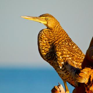 A Bare-throated Tiger-Heron at Water's Edge