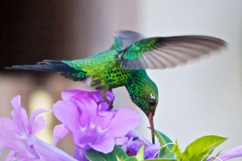 A Canivet's Emerald Humingbird Finds Nectar