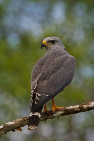 A Gray Hawk in the Late Morning