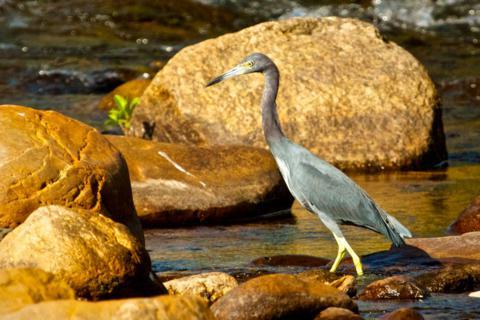 A Little Blue Heron Hunts in a Stream