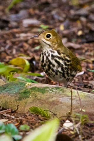 The Little Ovenbird Builds a Nest that Looks Like an Oven