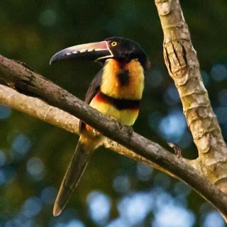 Collared Aracaris Use Their Huge Bills to Eat Fruit