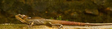 A Basilisk Lizard in the Rain