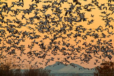 Snow Geese Blast Off in the Morning