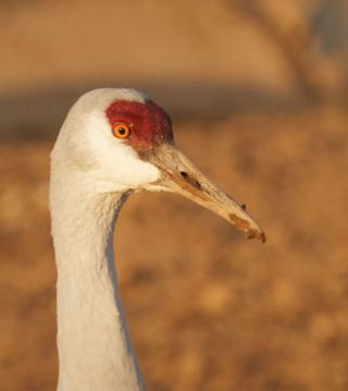 This Sandhill Crane Was Digging in the Mud