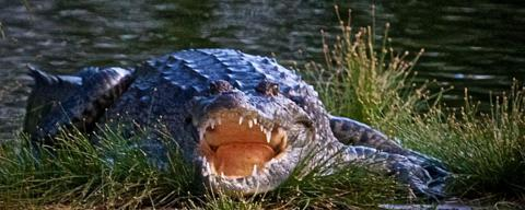 A Crocodile Has a Big Mouth and Sharp Teeth