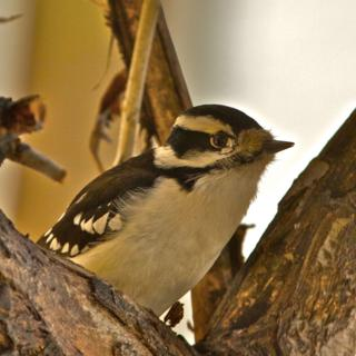 A Downy Woodpecker Visits