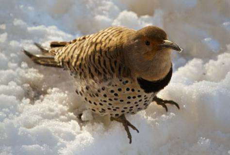 A Northern Flicker Digs for Suet in the Snow