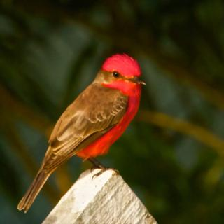 A Male Vermillion Flycatcher
