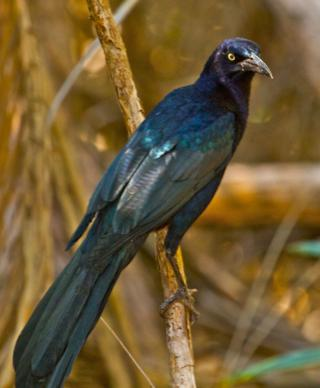 Ellen Called This Common Bird, a Great-Tailed Grackle