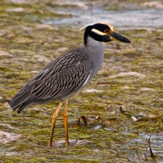 A Yellow-crowned Night Heron Walks the Beach