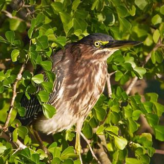 A Green Heron in a Green Tree