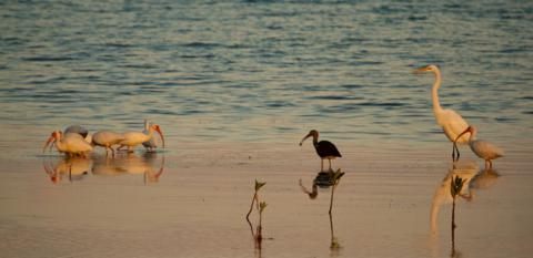 A Great Egret and Ibis at Dusk