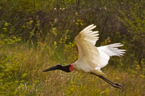 A Jabiru Flies