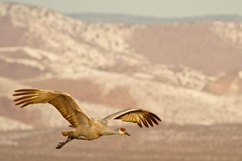 This Sandhill Crane Comes in to Land at Bosque del Apache