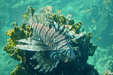 A Lionfish Has Venomous Fin Rays