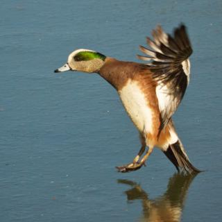 A Male American Wigeon Lands Tail First