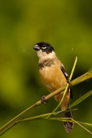 A Male White-Collared Seedeater in the Rain