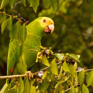A Yellow-headed Parrot Eats Blossom Berries