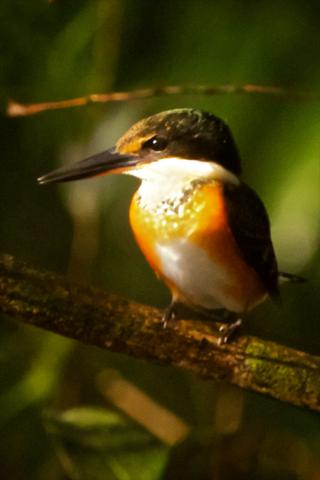 An American Pygmy Kingfisher Waits