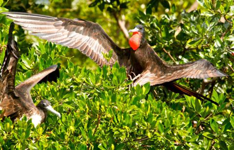 A Male Magnificent Frigatebird Attempts to Interest a Female