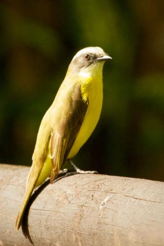 A Social Flycatcher Sits in the Sun