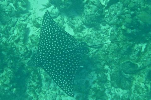 A Spotted Ray Swims Near the Bottom