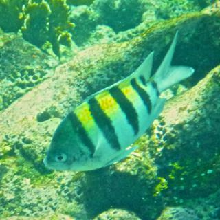 A Striped Fish