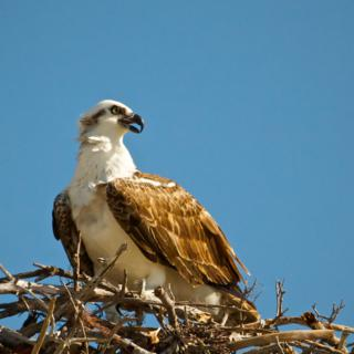 An Osprey Calls to its Mate