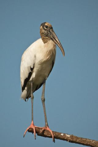 The Wood Stork is a Large Bird Up to 45 Inches Tall