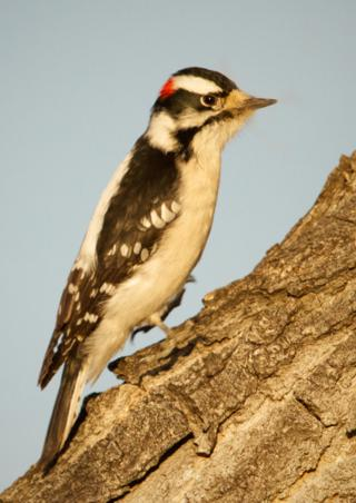The Downy Woodpecker Rests Between Pecks