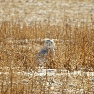 The Older Snowy Owl