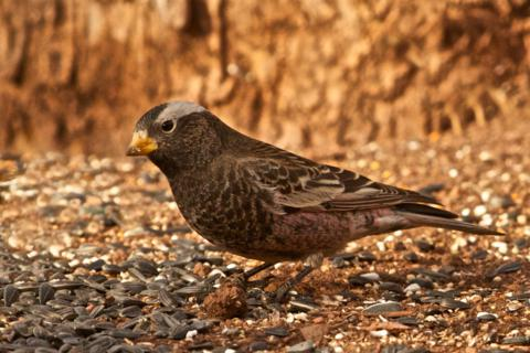A Black Rosy-Finch