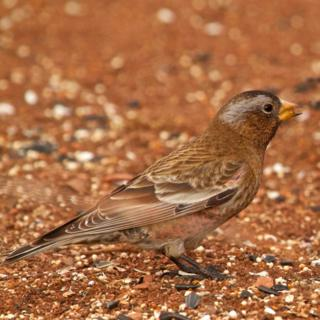 A Gray-Crowned Rosy-Finch or a Brown-Capped One
