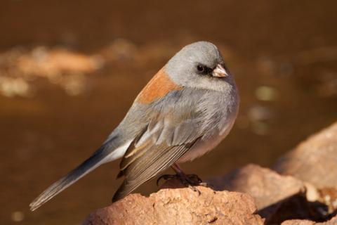 A Dark-eyed Junco Just Looks Cute